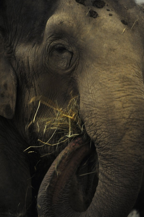 Rosie, an Asian elephant, munches on hay at the Hope Elephants facility in Hope on Wednesday, Oct. 31, 2012. Jim Laurita has brought her and another Asian elephant, Opal, to rehabilitate them after years of being on the road in different circuses.