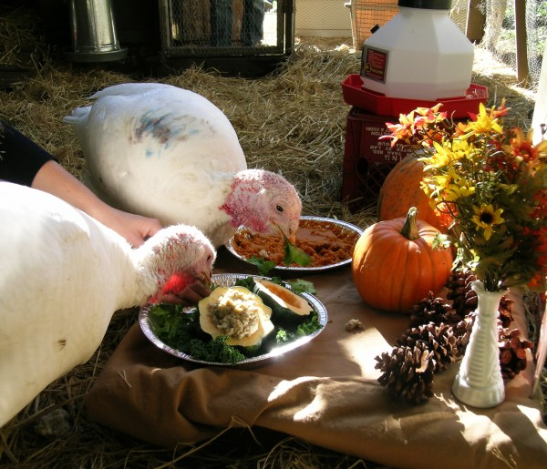 This image taken on Nov. 12, 2007 released by Love Creek Farm shows pet turkeys owned by Karen Oeh, named Ariala and Rhoslyn on their adoption day eating their Thanksgiving dinner provided by Farm Sanctuary, of squash and pumpkin pie at Love Creek Farm in Ben Lomond, Calif.