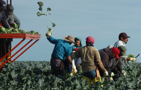 Workers at Smith's Farm harvest broccoli Sept. 6 in Washburn in 2007.
