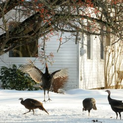 Wild turkey hunting season kicks off in Maine