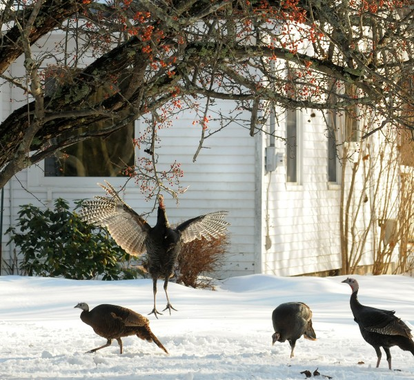 A wild turkey hops into the air to reach some food in November of 2011.