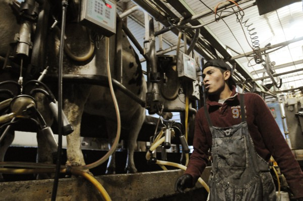 Rolando Salvador monitors cows in the milking parlor at Alfaslopes Farms in Charleston on Friday, Nov. 2, 2012. Alfaslopes Farms is owned by Dick Perkins who is grappling with the closing of the Bangor milk processing plant run by Garelick.