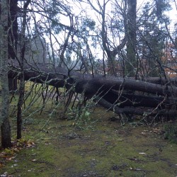 A massive spruce fell during the worst of the wind from Frankenstorm Sandy late last month at the author's house.