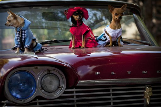 Chihuahua dogs in costume (left) Petite, Legrand and Lentille, sit on the hood of a classic American car at the Fall Canine Expo in Havana, Cuba on Nov. 25, 2012.  Hundreds of people from all over Cuba and several other countries came for the four-day competition to show off their shih tzus, beagles, schnauzers and cocker spaniels that are the annual Fall Canine Expo's star attractions.