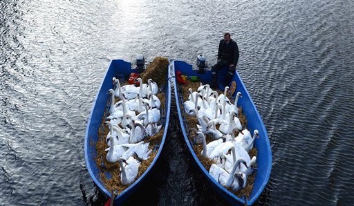 Swans look out of boats as they are transported to the wintering grounds at the Alster river  Hamburg, northern Germany on Tuesday, Nov. 20, 2012.