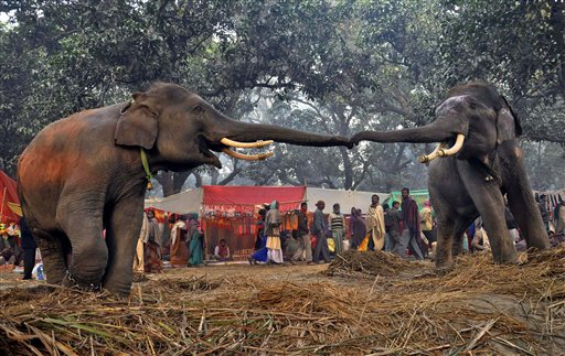 Two elephants reach out to each other at the Sonepur cattle fair in Saran district in the eastern Indian state of Bihar on Wednesday, Nov. 28, 2012. The fair, which is held annually, was originally a cattle and animal market where traders bought and sold livestock on the holy river Ganges.