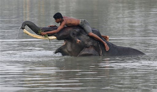 A mahout bathes an elephant before starting off to provide safari rides to tourists at the Pobitora national park, about 34 miles east of Gauhati, India on Friday, Nov. 2, 2012.  After two devastating waves of floods, the park which has the highest density of the one-horned rhinoceros in the world reopened for tourists Friday.