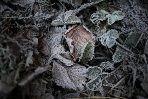 Leaves covered with frost are seen in a garden in Peremilovo village, 40 miles north of Moscow, Russia on Saturday, Nov. 24, 2012. The temperature in Moscow region dropped down 31 degrees Fahrenheit.