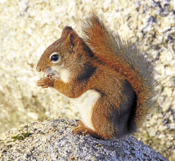 The approaching winter chill compels a red squirrel to constantly seek food among the rocks, trees, and grasses around Fort Point Lighthouse in Stockton Springs.