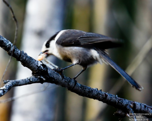 A gray jay finds a grub.