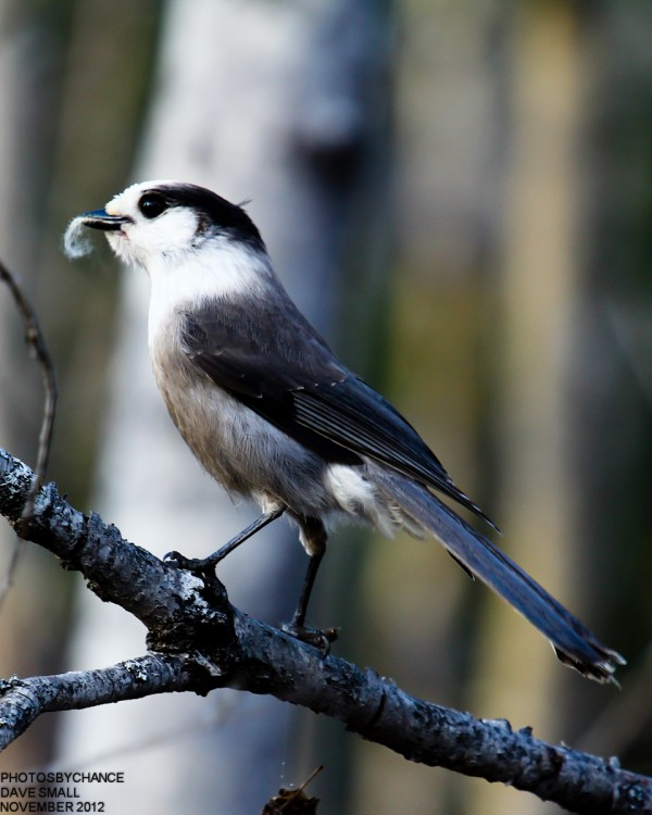 A gray jay displays its prize.