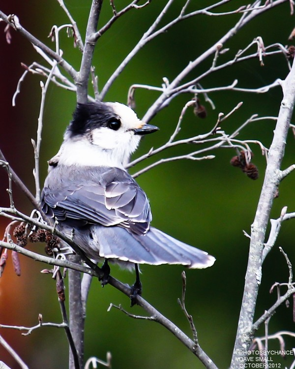 A gray jay strikes a pose