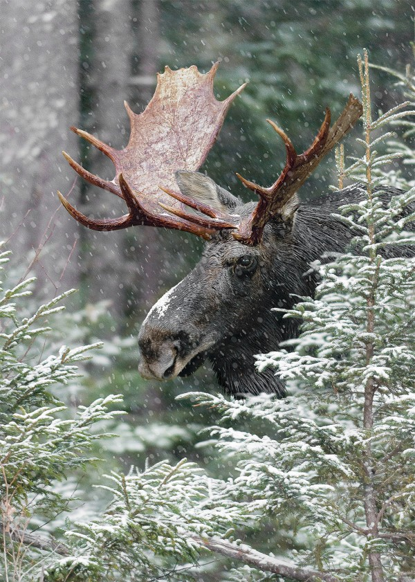 Moose in Spruce ©Mark Picard