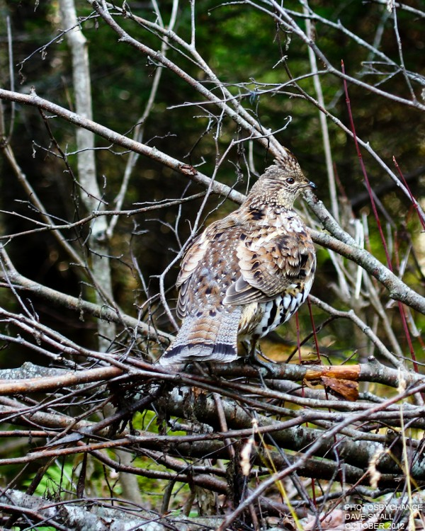 A ruffed grouse stands its ground.