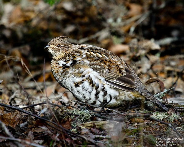 A ruffed grouse.