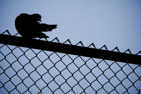 A pigeon, more properly known as a rock dove, preens in a fence in South Portland on Wednesday, Nov. 21, 2012.