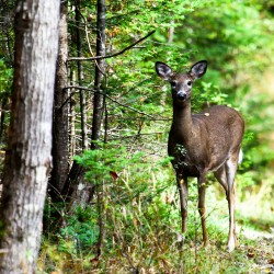 A doe stops for a peak at the University Forest in Orono.