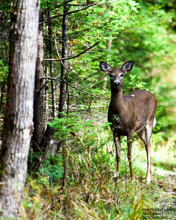 A doe stops for a peek at the University Forest in Orono.