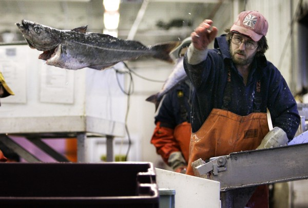 Kevin Reilly tosses a pollack into a crate while sorting groundfish at the Portland Fish Exchange in 2007. The groundfisheries of Maine, Massachusetts, New Hampshire, Rhode Island, Connecticut and New York will benefit from a $150 million provision in a Sandy disaster assistance bill.