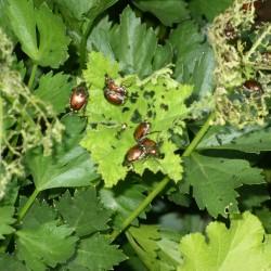 "Japanese beetles demonstrate the lyrics to ""Beetle Mania: The Carol."""