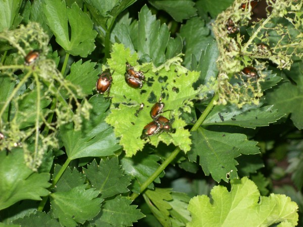 Japanese beetles demonstrate the lyrics to &quotBeetle Mania: The Carol.&quot