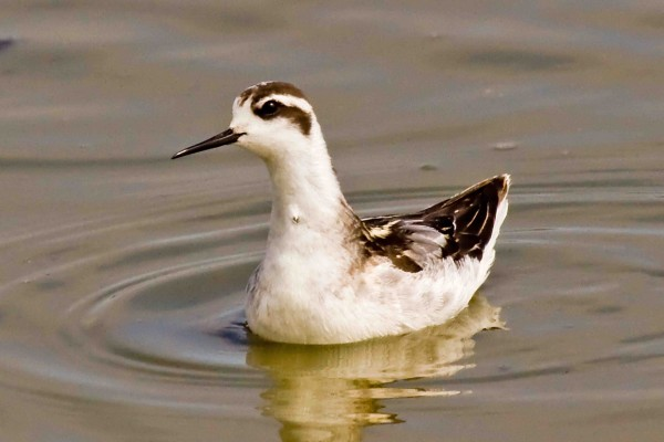 A red-necked phalarope in post-breeding plumage, lacking the red neck. It's the plumage typically seen in summer and autumn in Maine.