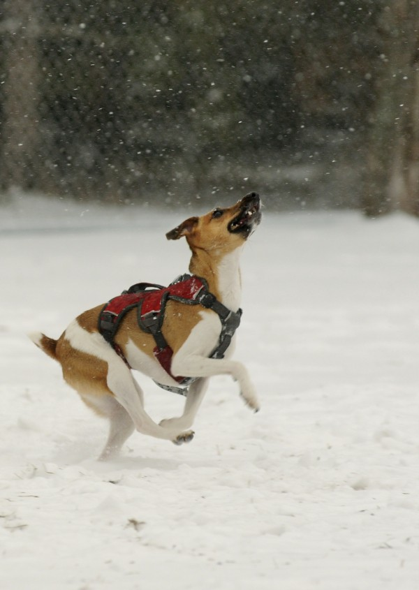 Willow, a 1-year-old Jack Russell terrier owned by Lindsay and Jeff Lombardo enjoys playing in the snow Thursday morning at the Bangor Dog Park on Watchmaker Street.