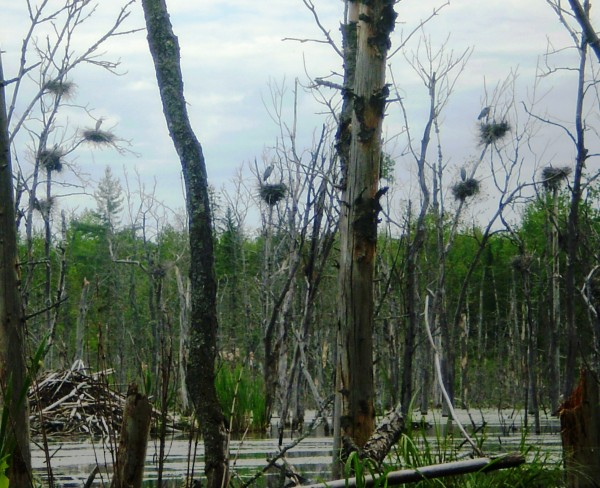 A great blue heron colony is found within a beaver flowage in Maine.