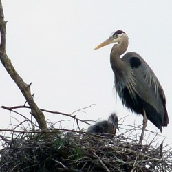 An adult great blue heron perches beside at least one nestling (others could be hunkered down) at a colony in Kennebec County.