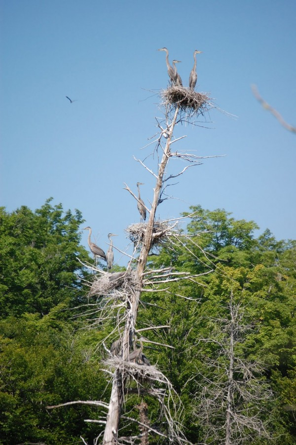 Four great blue heron nests hold nestlings that are 6 to 8 weeks old and soon to fledge in Penobscot County during a recent spring.