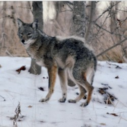 Coyote...America's Songdog