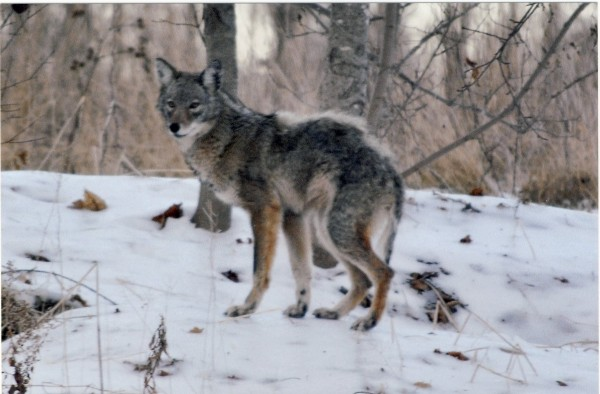 Police are urging the public to be cautious after sightings of a coyote in Houlton over the past month. The animal has been seen close to the downtown in the Charles, Elm and Washburn street areas. A homeowner on Washburn Street took this picture of the coyote earlier this month when she saw it in her yard.