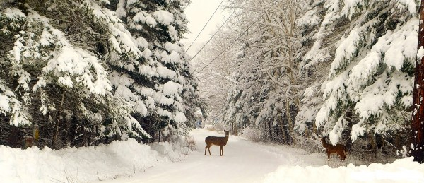 Two deer walk on a woods road in Allagash on Wednesday, Dec. 19, after nearly 18 inches of snow fell in the area.
