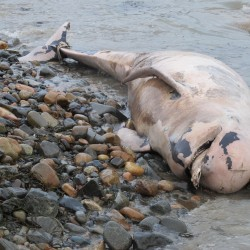 Dead right whale washes ashore in Washington County