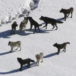 Idaho and Mont. state wolf hunts head to court