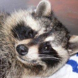 Caring for a raccoon called Michael