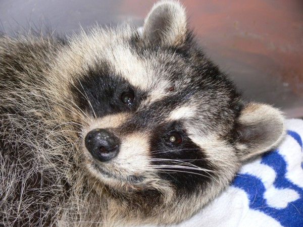 A raccoon who was brought to Acadia Wildlife Foundation in Bar Harbor is recovering, according to foundation official Ann Rivers. Tish Noyes, a Sorrento resident, brought the raccoon to the wildlife rehabilitation center after being told by police that the animal likely would have to be euthanized and tested for rabies.