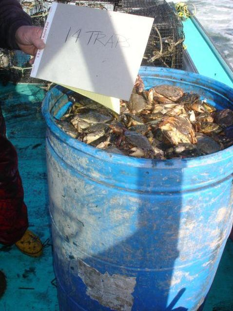 A 55-gallon drum full of green crabs caught by the town of Freeport in November after a first round of trapping. The town plans to use trapping to collect data on the crabs in an attempt to reduce their numbers.