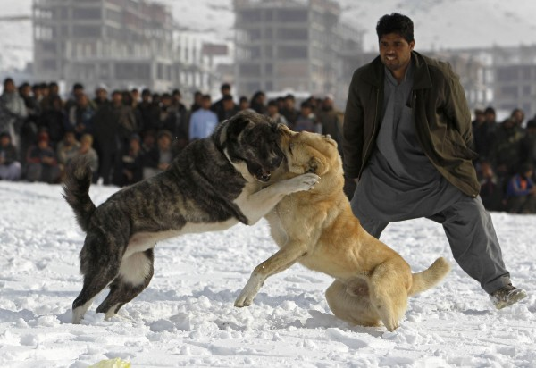 Dogs fight during a traditional dog fighting competition in Kabul December 28, 2012. Thousands of people gather in a circle each Friday to watch large Afghan fighting dogs, known as Kuchis, attack each other in 30-second contests at the foot of mountains on the edge of Kabul.