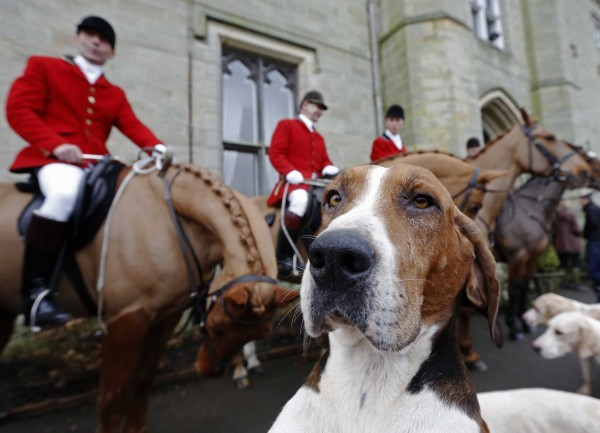 A foxhound stands near members of the Old Surrey Burstow and West Kent Hunt at Chiddingstone Castle during the annual Boxing Day hunt in Chiddingstone, south east England, on Wednesday, Dec. 26, 2012. A ban imposed seven years ago states that foxes can be killed by a bird of prey or shot but not hunted by dogs. Hunts continue now with pursuers accompanying dogs in chasing down a pre-laid scented trail.