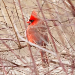 Lovely Cardinal taken by Andy Anderson, www.kingfisherphotography.com