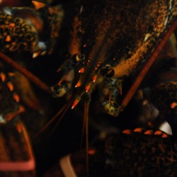 Lobster glut, time reduce urgency for delayed trap tags