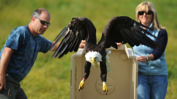 Steve Richens and his wife, Carolyn, release a bald eagle back into the wild in Pittsfield on Tuesday, Oct. 2, 2012. The couple helped with the bird's rescue two weeks earlier.