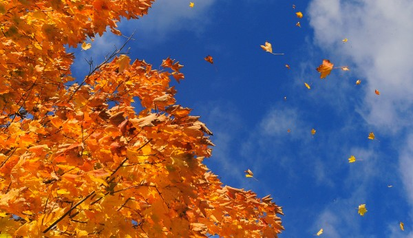 The wind blows leaves from a maple tree in Bangor on Oct. 22, 2012.