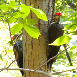 Pilated Woodpeckers at Acadia National Park