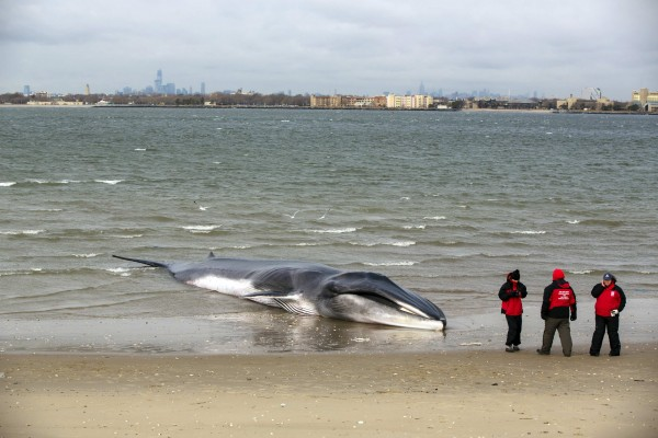 Researchers from the Riverhead Foundation for marine research and preservation stand in front of a deceased beached whale in the Queens borough of Breezy Point, New York, on Thursday, Dec. 27, 2012. A 60-foot finback whale that washed up on a beach in New York City on Wednesday has died, a marine rescue official said on Thursday.