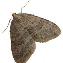 The winter moth (Operophtera brumata) is an invasive species first discovered in Massachusetts in the 1990s.