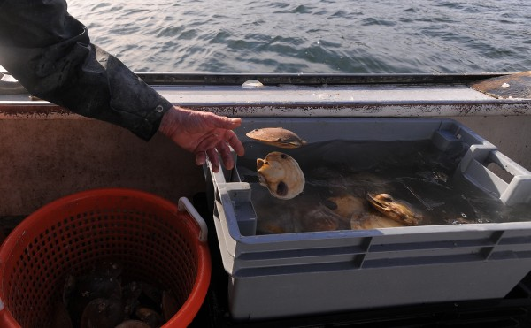Steve Strout, captain of the Elana Jane, sorts through scallops brought up by Ed Monat near Bartlett Island in Blue Hill Bay last month.
