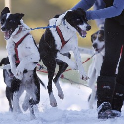 Lil Stewart's excited sled dogs are restrained from taking off early as the team moves into position at the start of a race held by the New England Sled Dog Club at Sunset Ridge Golf Course in Westbrook on Sunday, Jan. 6, 2013.
