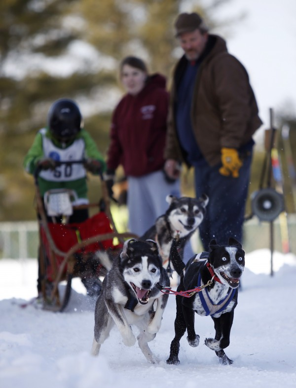 There's excitement on the eyes of Braden Daigneault's dogs at the start of a race, Sunday, Jan. 6, 2013, at the New England Sled Dog Club's season opener in Westbrook. The Daigneault racing family is from of Waterboro, Maine.